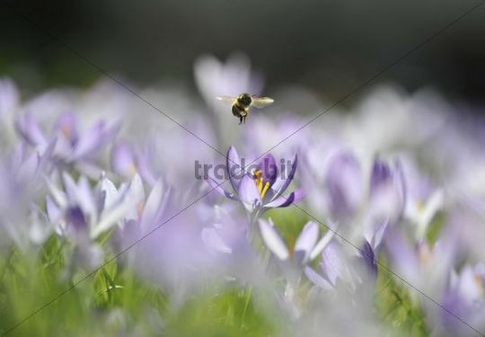 Purple Crocus (Crocus) and a Honey Bee (Apis mellifera)