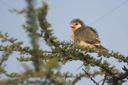 Pygmy Falcon (Polihierax semitorquatus), Samburu National Park, Kenya, East Africa