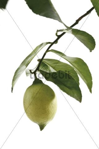 Lemon on a branch with leaves