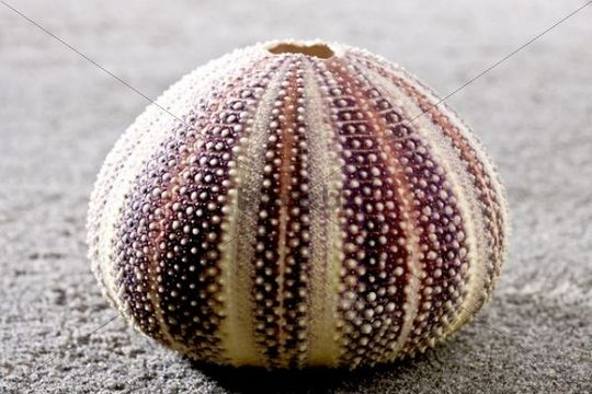 Shell of Sea urchin on the beach