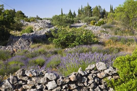Lavender (Lavandula angustifolia) blossoming in front of a natural stone wall, Hvar, Croatia, Europe