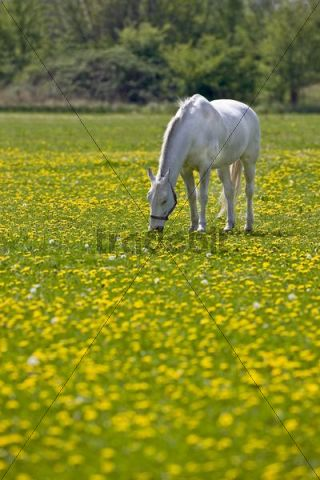 White grazing horse on a dandelion field