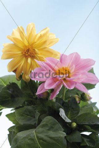Dahlias, pot plant