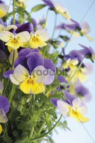 Violets (Viola), blue, yellow