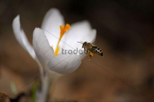 White crocus (Crocus) with settling honey bee (Apis mellifera)