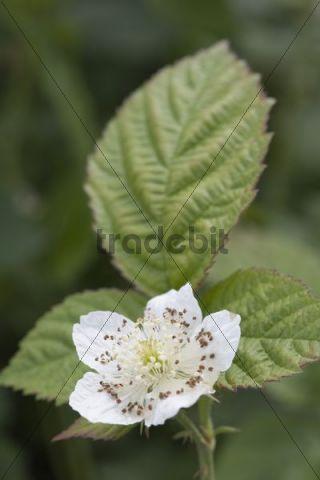 Flower of Raspberry or European Raspberry or Red Raspberry (Rubus idaeus)