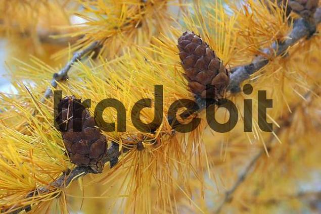 Larch cones Larix europaea and colorful needles in late fall, Engadin, Switzerland.
