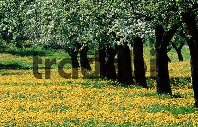 Dandelion meadow under blooming apple trees, Baden-Wurttemberg, Germany