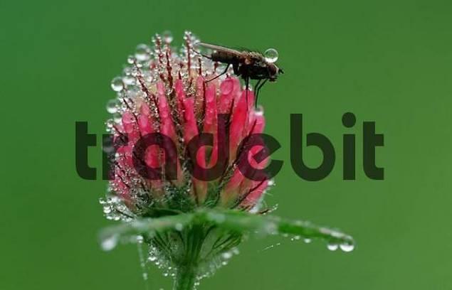 Flesh-fly on Red Clover, Baden-Wurttemberg, Germany / Trifolium pratense, Sarcophaga carnaria