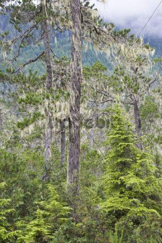 Pine trees covered with bearded lichens (Usnea longissima), Mitkof Island, Southeast-Alaska, Alaska, USA, North America