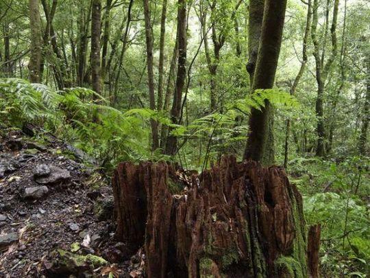 Fern on tree stump, Laurisilva, El Canal y Los Tilos Biosphere Reserve, La Palma, Canary Islands, Spain