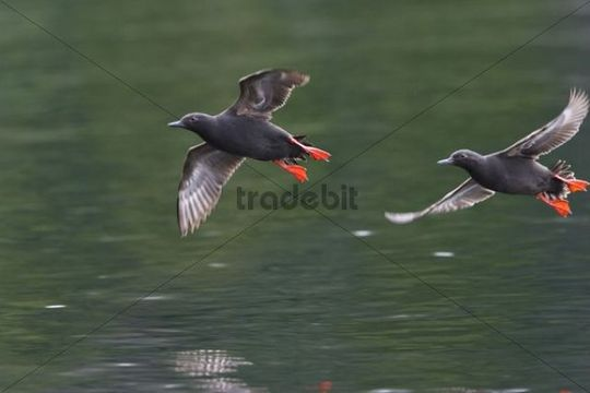Auks, Pigeon Guillemots (Cepphus columba columba) in flight, Alaska, USA, North America