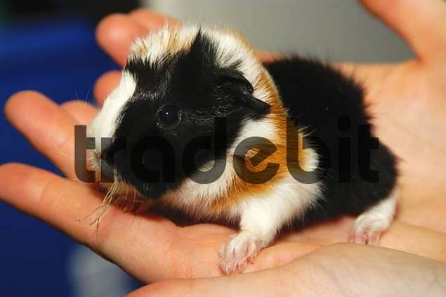 A Baby Guiena Pig Cavia porcellus sitting in a Hand