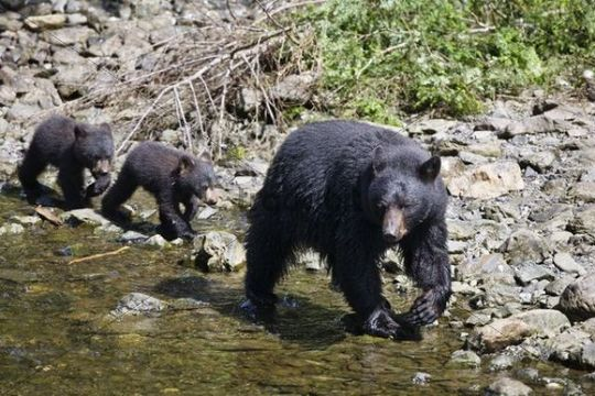 Black Bear (Ursus americanus), mother with cubs, Alaska, USA