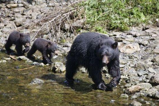 Black Bear (Ursus americanus), mother with cubs, Alaska, USA