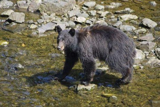 Black Bear (Ursus americanus) catching salmon, Alaska, USA