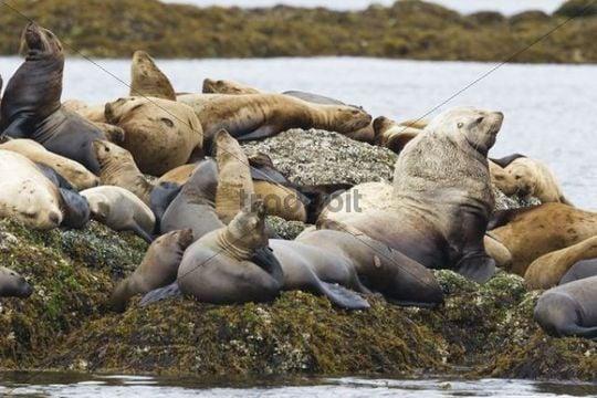 Steller Sealions (Eumetopias jubatus), Inside Passage, Alaska, USA, North America