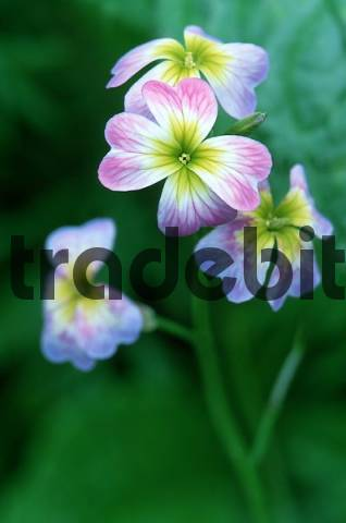 Prairie Flax / Linum lewisii