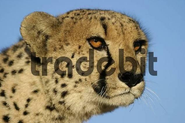 Cheetah, Namibia / Acinonyx jubatus
