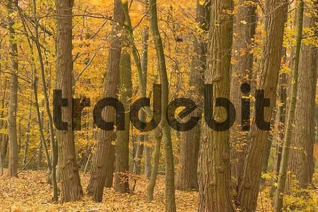 Forest in autumn, North Rhine-Westfalia, Germany