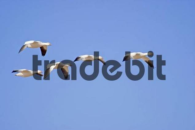 Snow Geese, Bosque del Apache, New Mexico, USA / Anser caerulescens