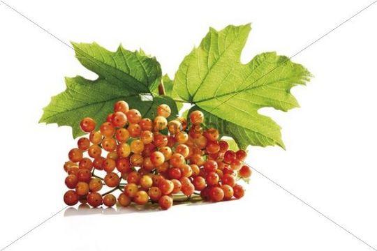 Viburnum (Viburnum spec.), immature fruit