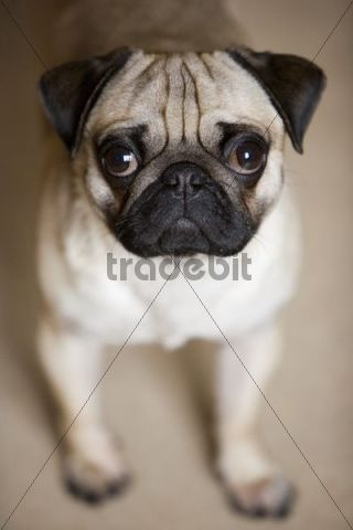 Young pug sitting, looking at the camera