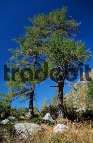 European Larchs, Austria / Larix decidua