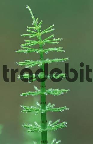 Horsetail, Mecklenburg-Western Pommerania, Germany / Equisetum arvense