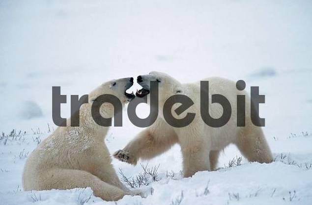 Polar Bears, quarreling, Churchill, Manitoba, Canada / Ursus maritimus, Thalassarctos maritimus