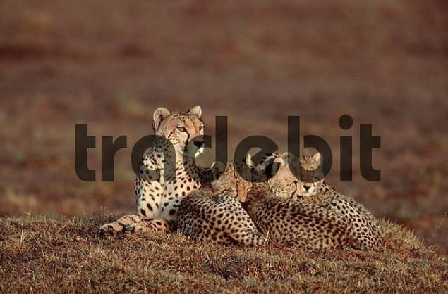 Cheetas, female with cubs, Massai Mara Game Reserve, Kenya / Acinonyx jubatus