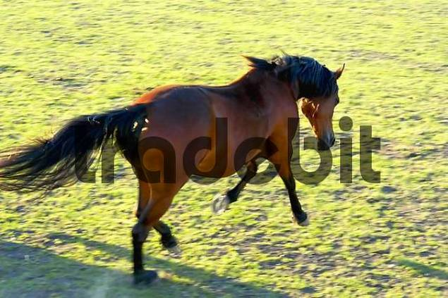 A galloping Horse equi
