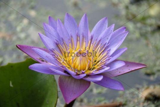 Purple water lily, flower, Ceylon, Sri Lanka, South Asia, Asia