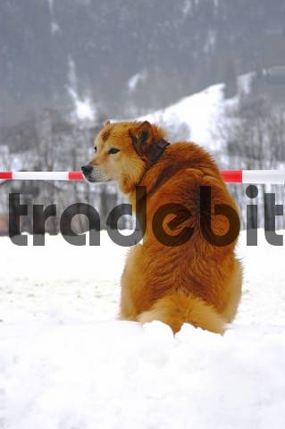 A dog Canis Major is sitting behind a barrier tape
