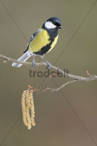 Great Tit (Parus major) sitting on flowering hazel shrub