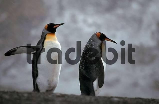 King Penguins in snow storm, South Georgia / Aptenodytes patagonica