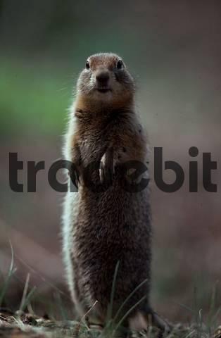 Arctic Ground Squirrel, Denali national park, Alaska, USA / Citellus undulatus/Spermophilus parryii