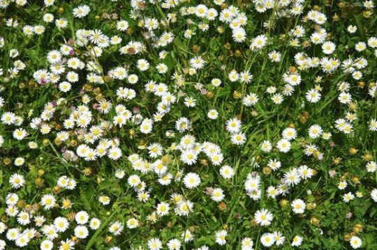 Meadow with blossoming daisies (Bellis perennis) in spring