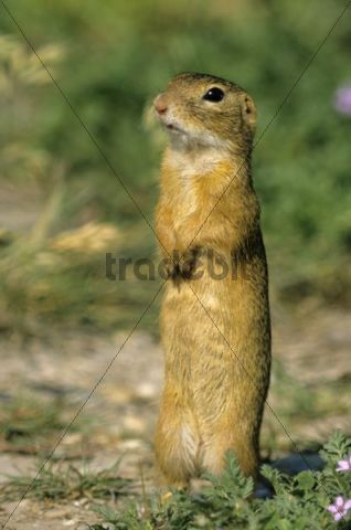 European ground squirrel (Spermophilus citellus), on the lookout for enemies