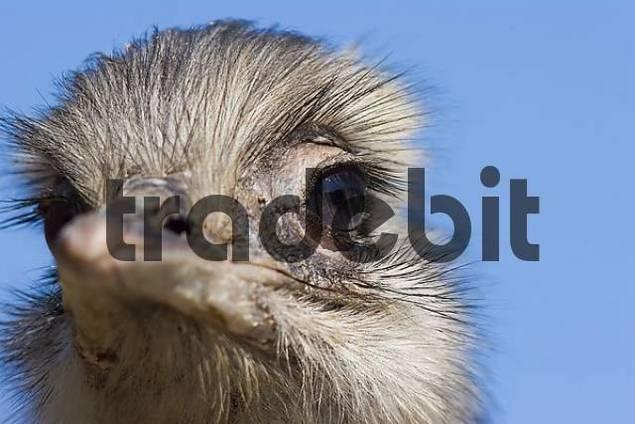 rhea Rhea americana portrait
