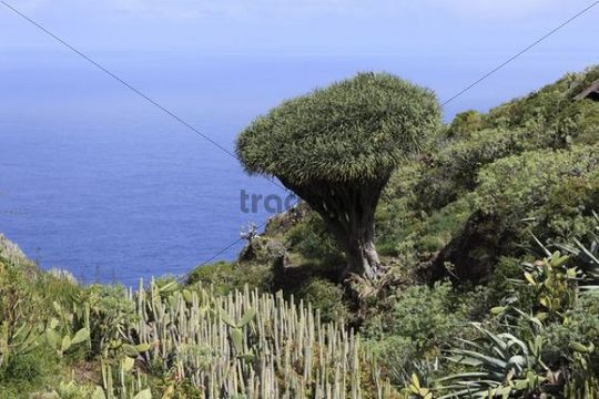 Canary Islands Dragon Tree (Dracaena draco) and other scrub vegetation, El Palmar, La Palma, Canary Islands, Spain, Europe