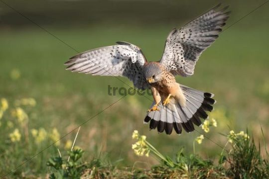 Male Common Kestrel (Falco tinnunculus) swooping down to loot