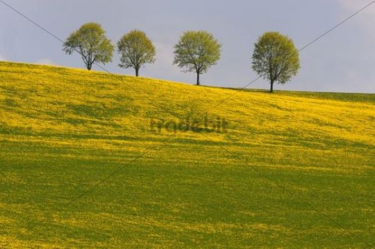 Four trees in dandelion meadow, Rettenbach, Unterallgaeu, Bavaria, Germany