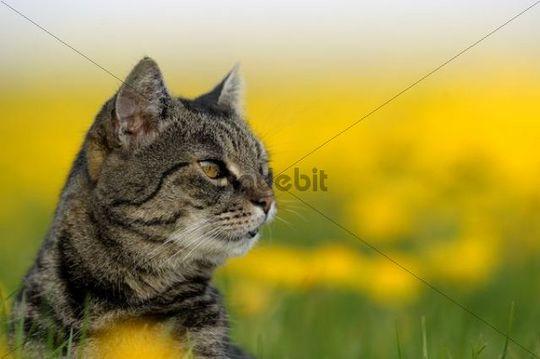 Domestic cat, European Shorthair, in Dandelion meadow (Taraxacum)
