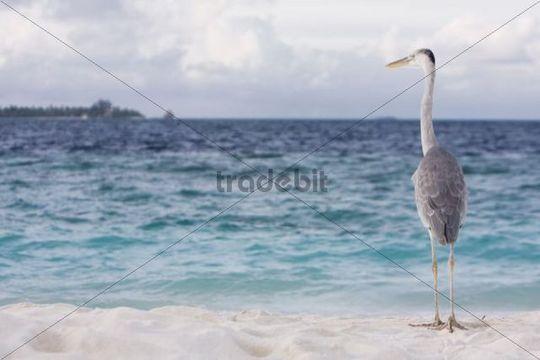 Grey Heron (Ardea cinerea) at the Indian Ocean