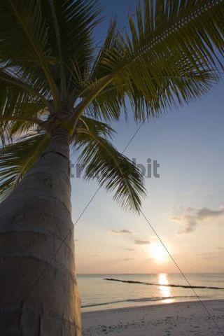 Coconut Palm (Cocos nucifera) at sunset, Fihalhohi Island, Maldives, Indian Ocean