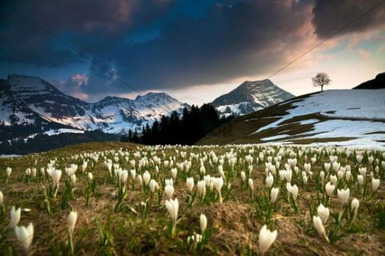 Crocuses in the Alpstein area, Stockberg, Saentis, Swiss Alps, Switzerland, Europe