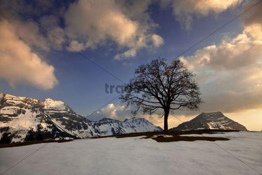 Tree in the Alpstein mountain range at sunset, Saentis, Appenzell, Stockberg, Swiss Alps, Switzerland, Europe