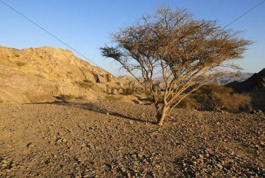 Acacia tree in a desert landscape, Hajar al Gharbi Mountains, Al Dhahirah Region, Sultanate of Oman, Arabia, Middle East