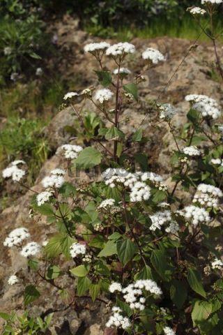 Eupatory, sticky Snakeroot or Crofton Weed (Ageratina Adenophora), La Palma, Canary Islands, Spain, Europe